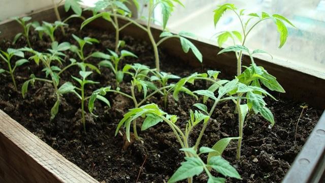 Удобряем рассаду томатов после пикировки