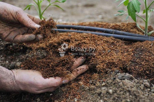 Томат сорта Анастасия: посадка, выращивание, уход