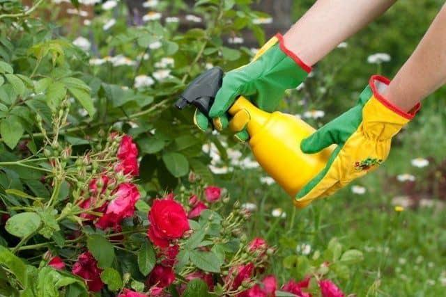 Укрываем розы в Подмосковье: как укрыть на зиму