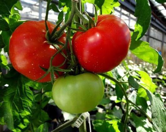 Сорт томата Волгоградский скороспелый 323: характеристика и описание, отзывы, фото