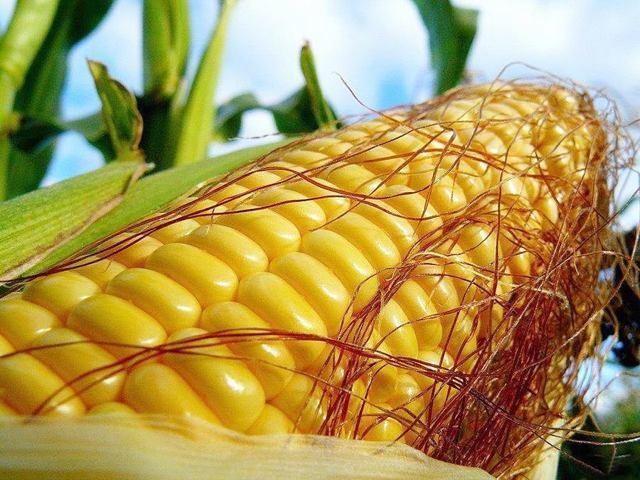 Кукуруза на рассаду: когда сажать, посадка и выращивание в домашних условиях