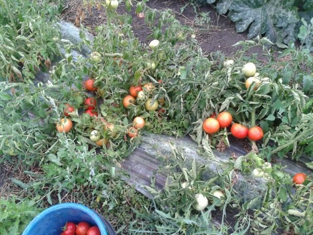 Выращивание низкорослых помидоров в открытом грунте