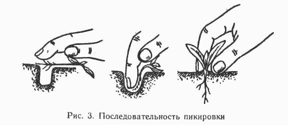 Томат Оранжевое Сердце: характеристика и описание сорта