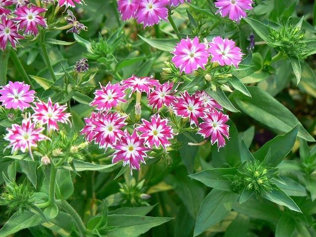 Флокс Друммонда: выращивание из семян, когда сажать, посадка, фото