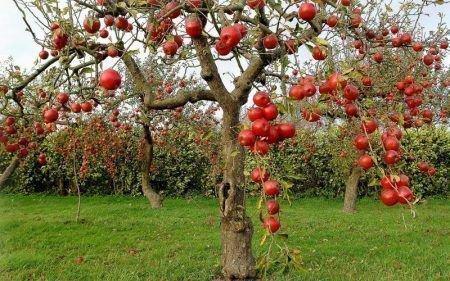 Пересадка яблони на новое место осенью