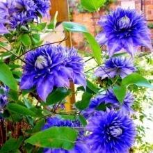Клематис Мульти Блю (multi blue): фото, описание сорта, отзывы, посадка и уход, группа обрезки