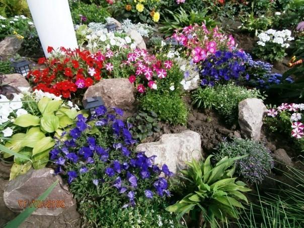 Лобелия ампельная: посадка и уход, фото, выращивание из семян, видео