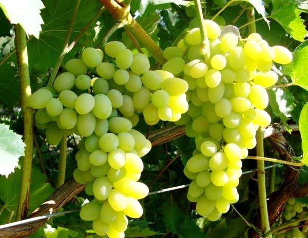 Виноград Лора: описание сорта, фото, отзывы, видео