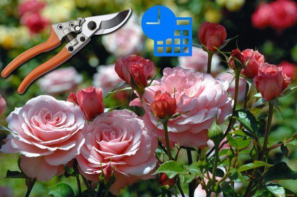 Обрезка плетистой розы осенью: как правильно обрезать, видео для начинающих