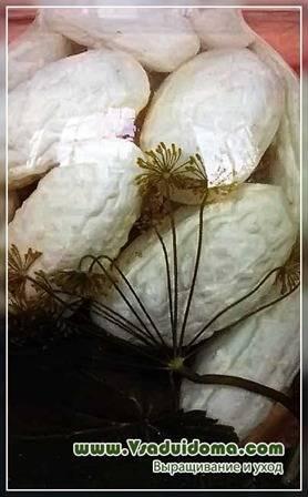 Белые огурцы: сорта, описание, фото и отзывы