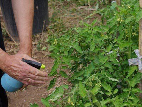 Как использовать мочевину для подкормки томатов