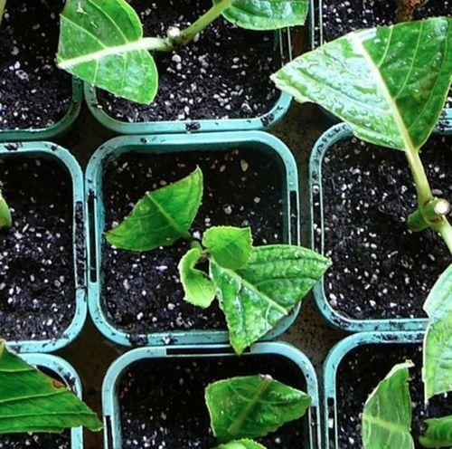 Размножение гортензии осенью: черенками, делением куста, отводками