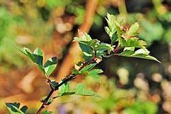 Боярышник однопестичный (crataegus monogyna): описание, фото, отзывы
