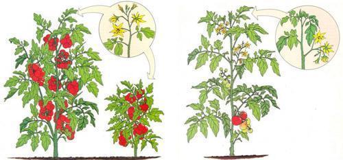 Детерминантный и индетерминантный сорт томатов: в чем отличие, какие лучше