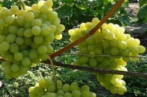 Виноград Августин: описание сорта, фото, отзывы.