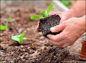 Как выращивать пекинскую капусту в теплице + фото