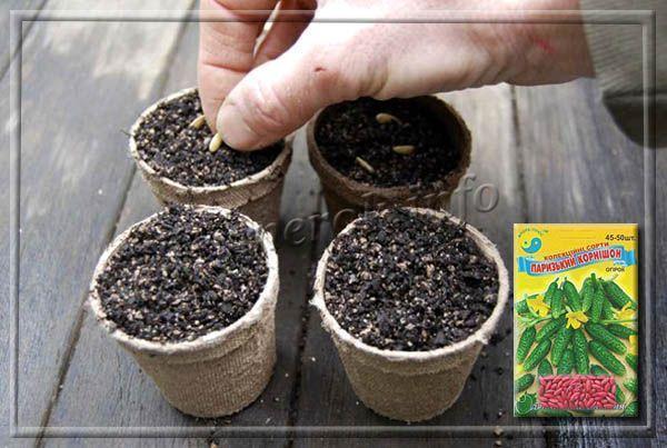 Огурец Парижский корнишон: отзывы, описание сорта, выращивание, фото