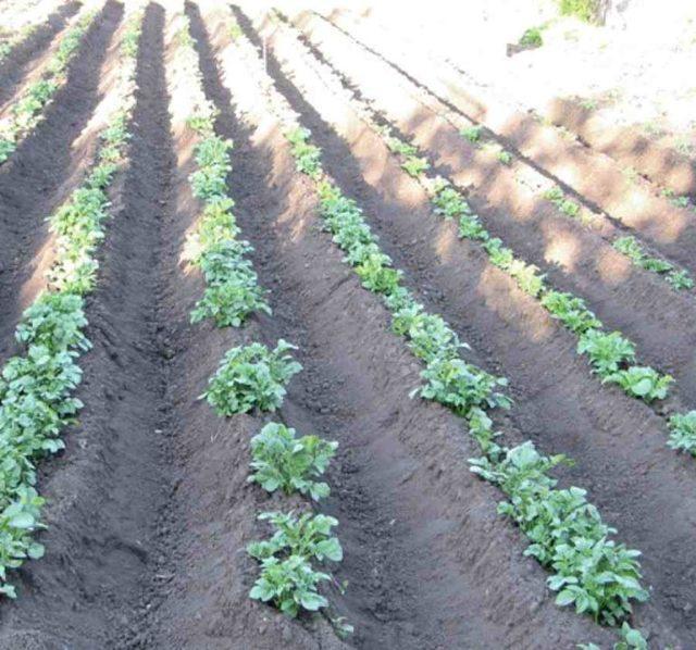Сорт картофеля Жуковский ранний: характеристика, отзывы, фото