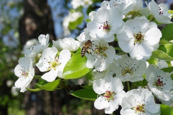 Почему не плодоносит, не цветет груша: что делать, молодая, 5, 6, 7 лет