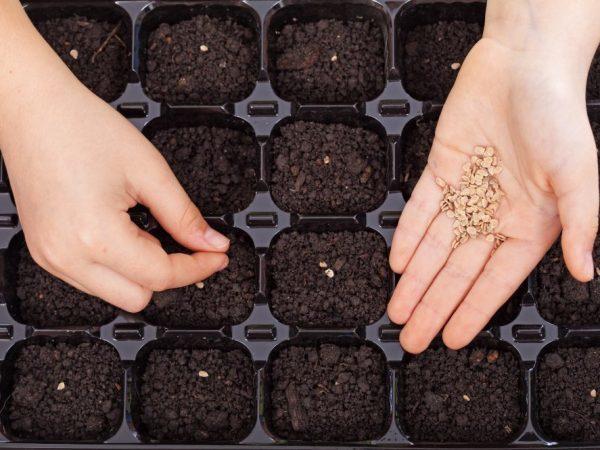 Томат Царское искушение: урожайность, отзывы, фото, характеристика