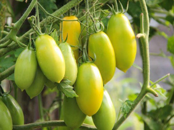 Томат Банановые ноги: описание сорта, фото, отзывы, урожайность