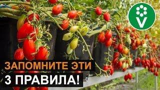 Медная проволока от фитофторы на помидорах + отзывы