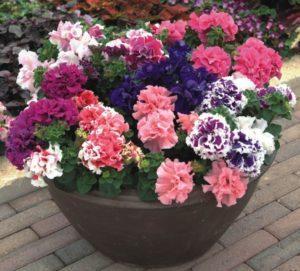 Подкормка петунии для цветения