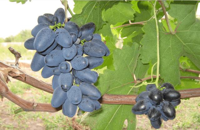 Виноград Атос: фото, описание сорта, отзывы, видео