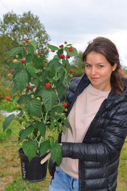 Малина Рубиновый Гигант: описание сорта, фото, отзывы