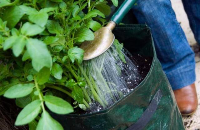 Способ посадки картофеля в мешках