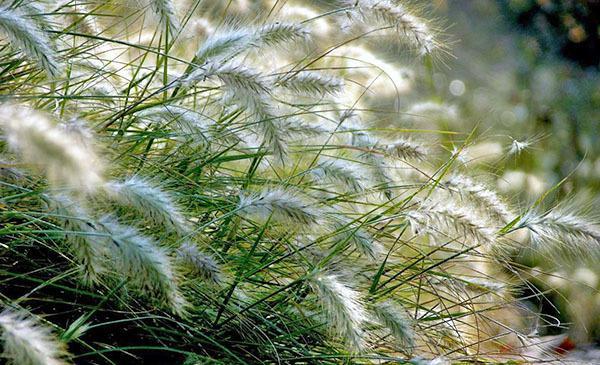 Многолетние злаковые сорняки: фото и названия