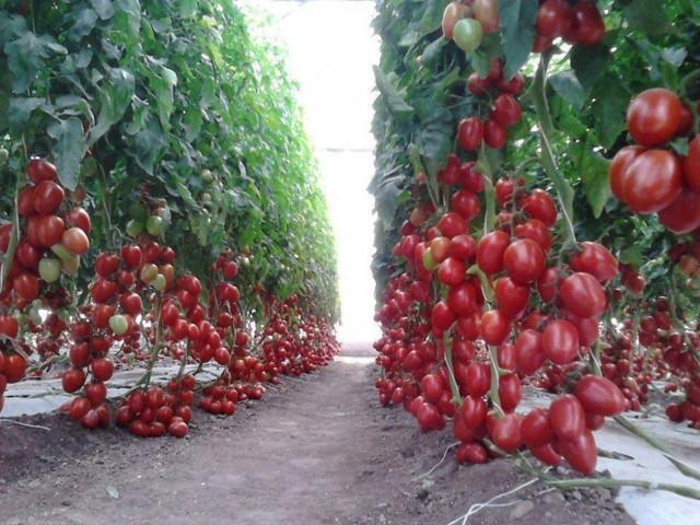 Как правильно подкормить томаты куриным пометом
