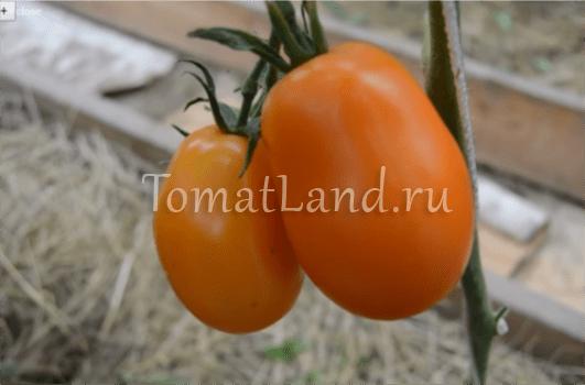 Томат Олеся: описание сорта, отзывы, фото, урожайность