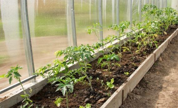 Чем удобрять томаты после высадки в теплицу