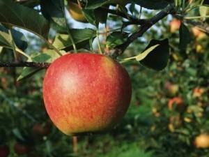 Сорт яблок Кортланд: описание, когда снимать, отзывы, фото