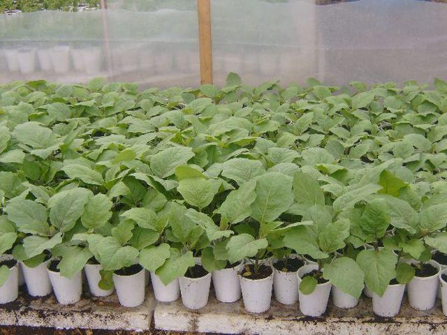 Температура для выращивания баклажан