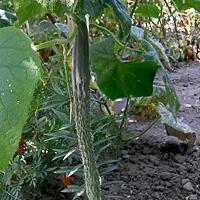 Огурец Герман f1: описание сорта, фото, отзывы, выращивание в теплице и открытом грунте