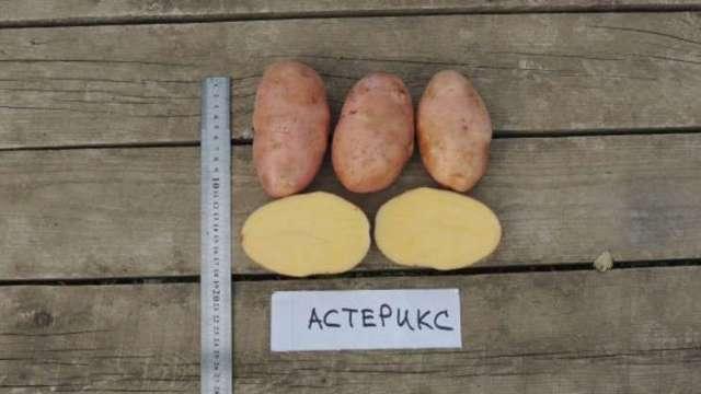 Картофель Астерикс: описание сорта, фото, отзывы