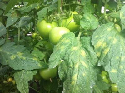 Сорта томатов устойчивых к кладоспориозу