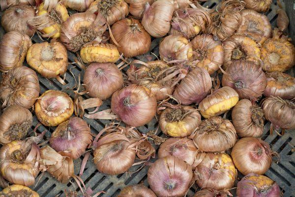 Гладиолусы: когда выкапывать и как хранить