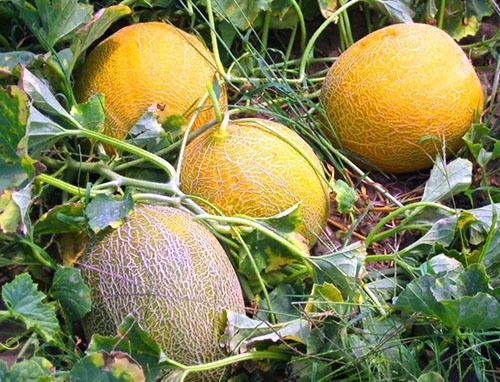 Дыня Туркменка: как выбрать, особенности выращивания