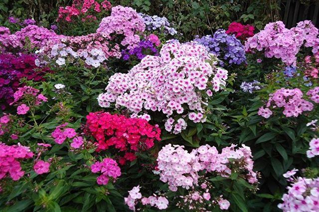 Многолетние цветы для дачи