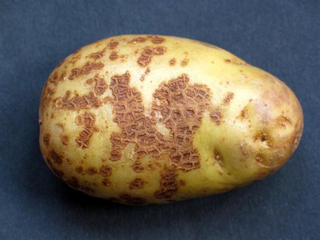 Картофель Удача: описание сорта, фото, отзывы, вкусовые качества