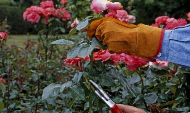 Уход за розами осенью: обрезка и подготовка к зиме