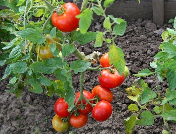 Томат Король королей: описание сорта, отзывы, фото, урожайность