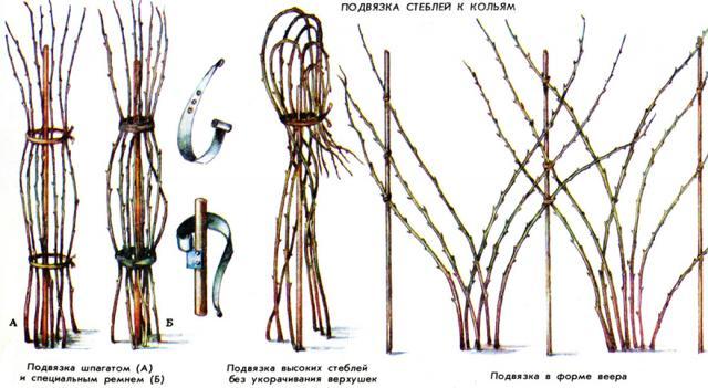 Характеристика малины Краса России