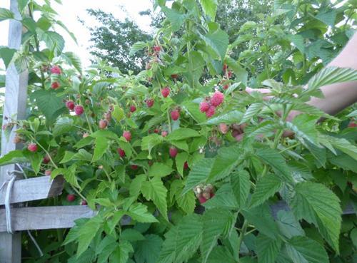 Описание сорта малины Таруса + отзывы