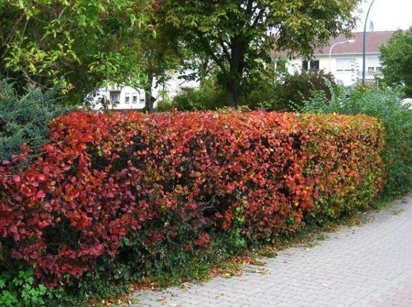 Живая изгородь из боярышника: сорта, как сделать своими руками, фото