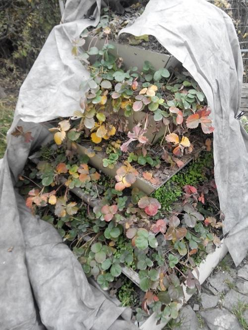 Клубника Элан: описание сорта, фото, отзывы садоводов