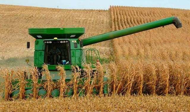 Кукуруза Земляничная: посадка и уход, фото, особенности выращивания
